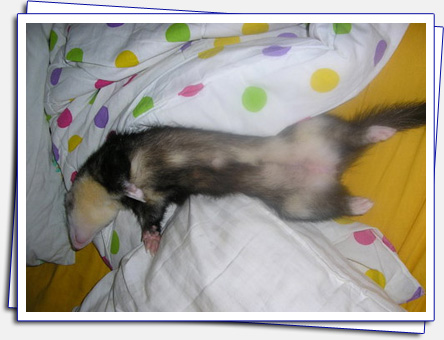 Cica in pleasant dreams - lady-like sleeping style for ferrets.